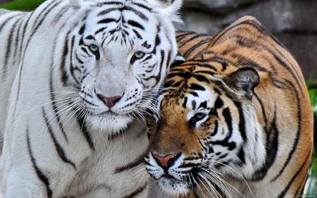 Gestão Escolar - Comunicação não Violenta Tigres Bengala